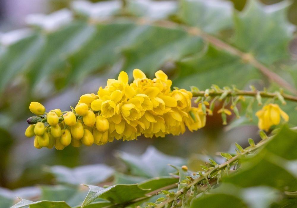 mahonia-media-winter-sun-flowers
