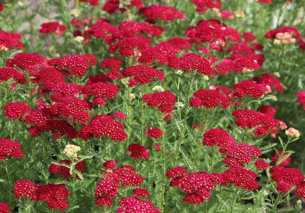 red-yarrow-achillea-millefolium