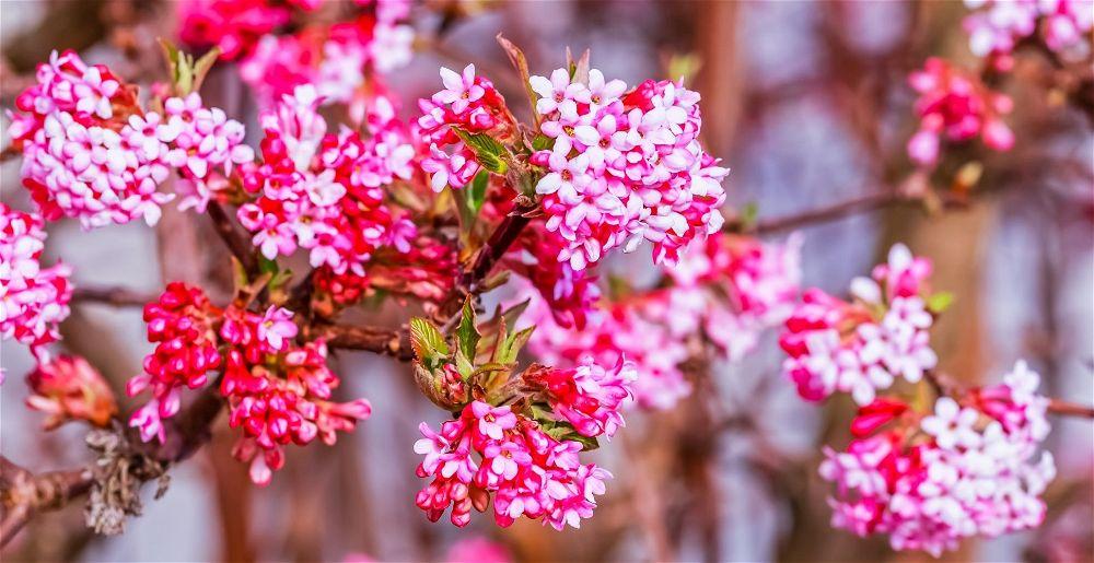 winter-flowering-shrubs