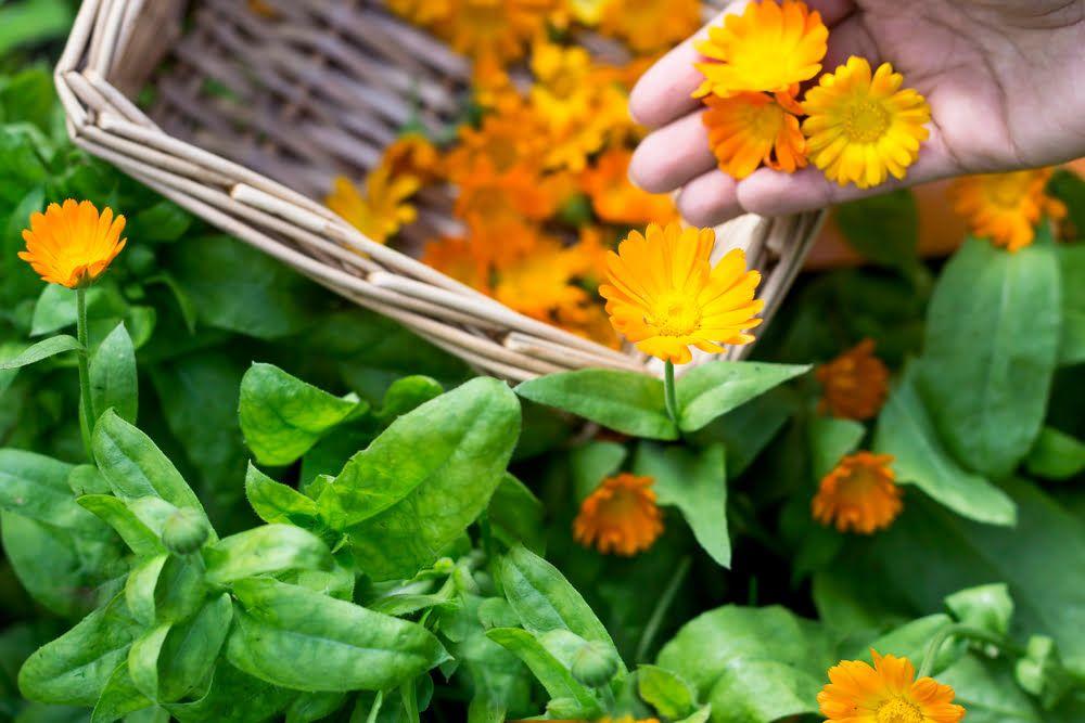 Hand picking calendula flowers