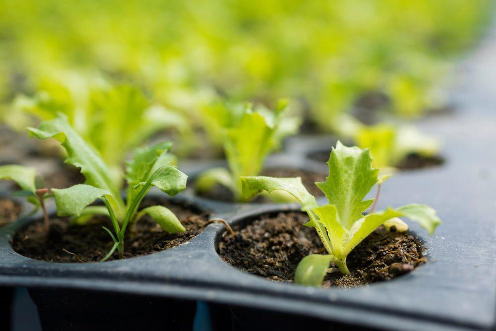 Seedlings in tray