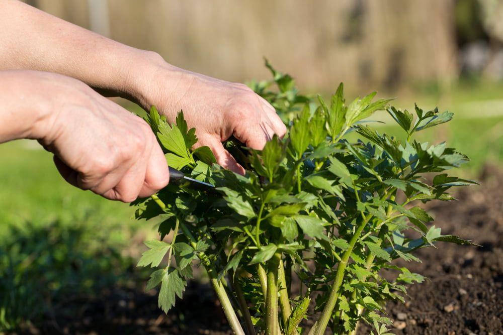 Hands harvesting lovage