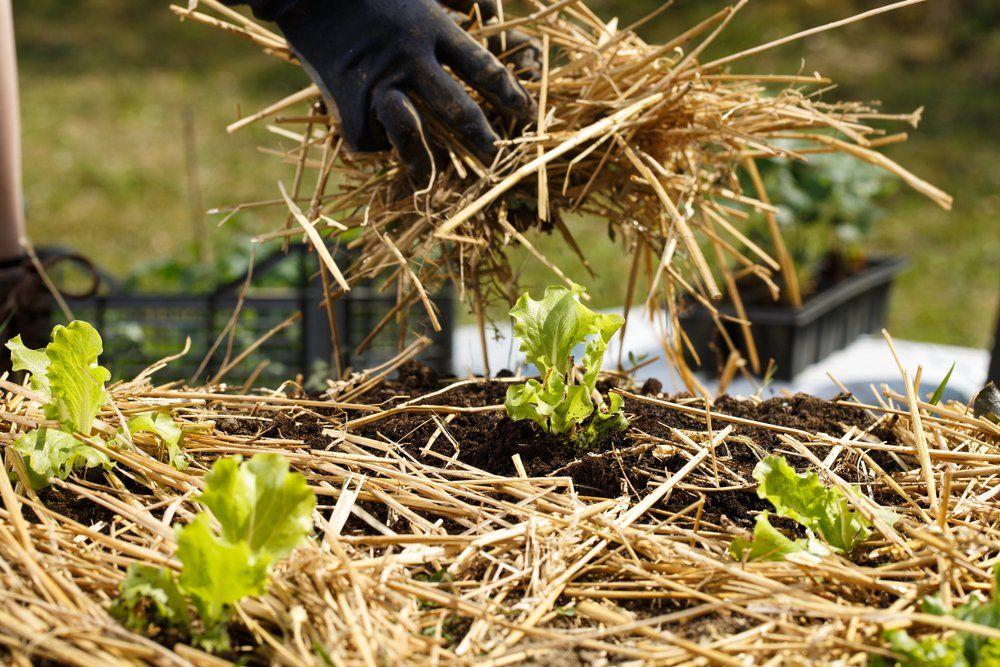 Laying straw mulch around plants