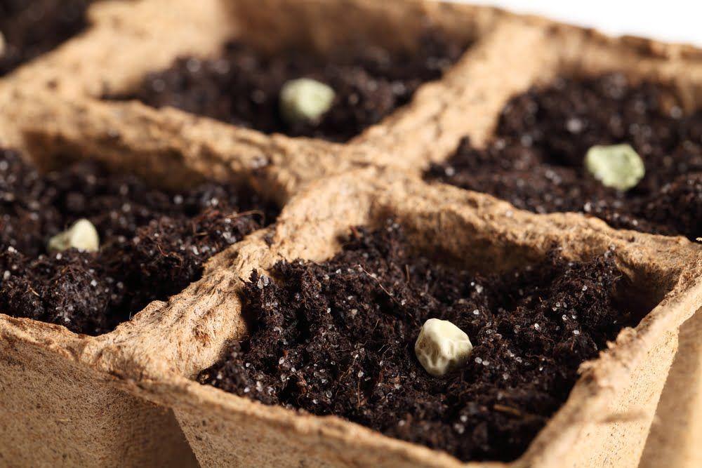 Pea seeds in pots