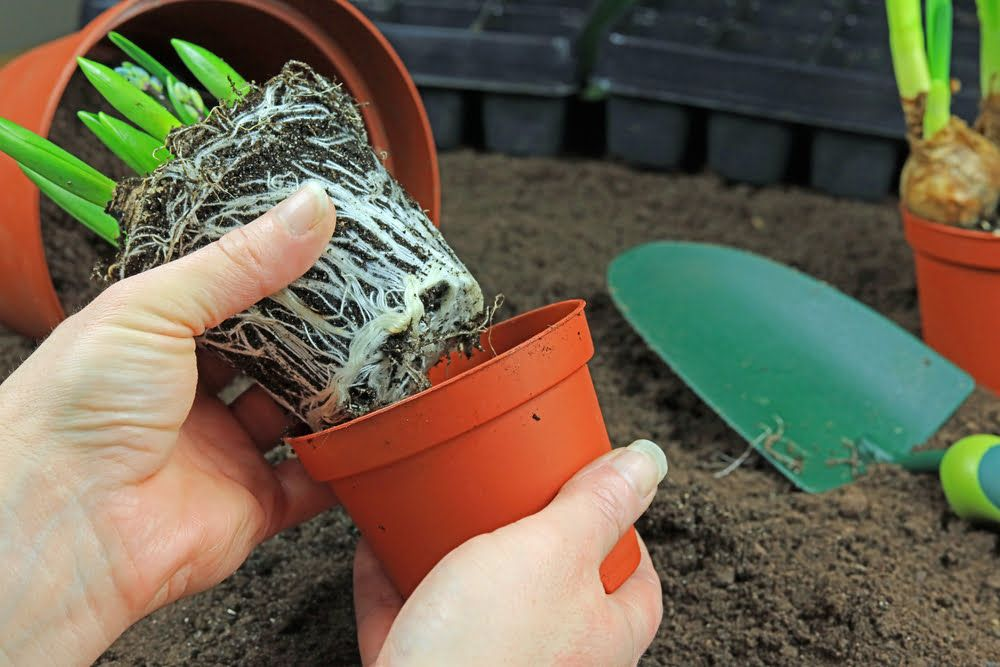 Pot bound roots on plant