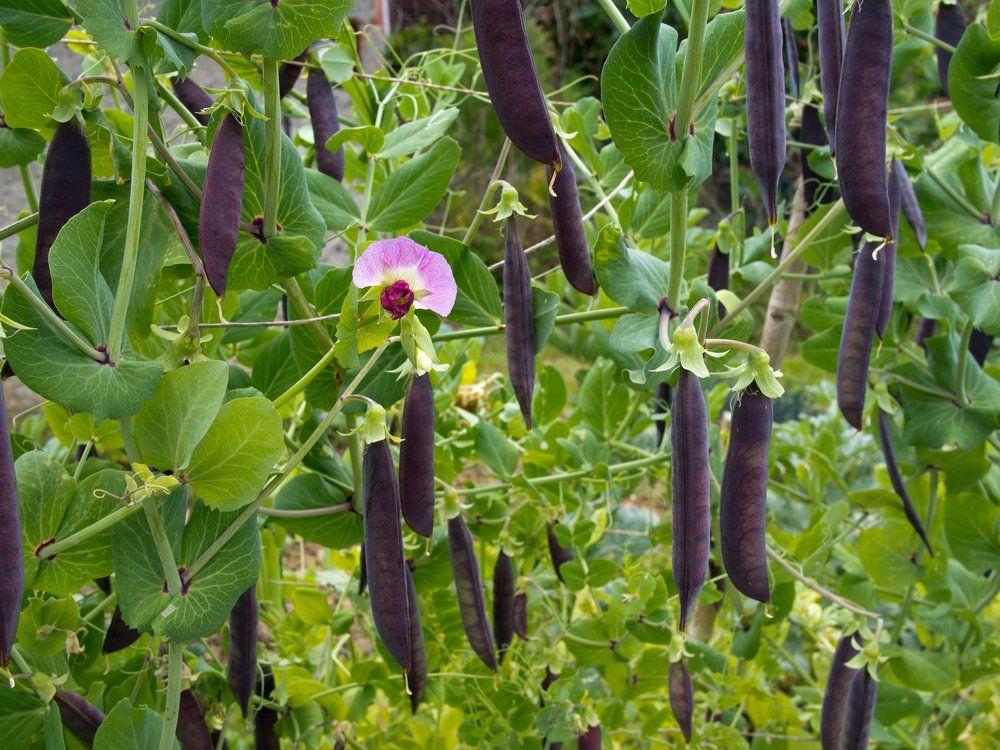 Purple podded peas on plant