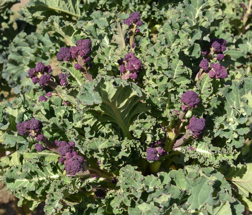 Purple Sprouting Broccoli plant