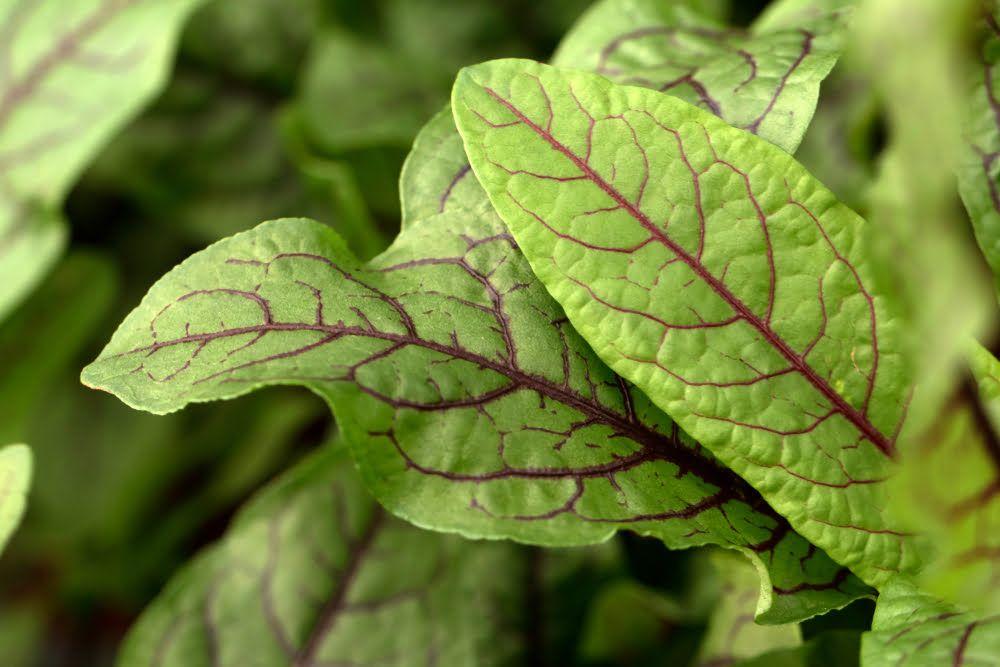 Red veined sorrel leaves
