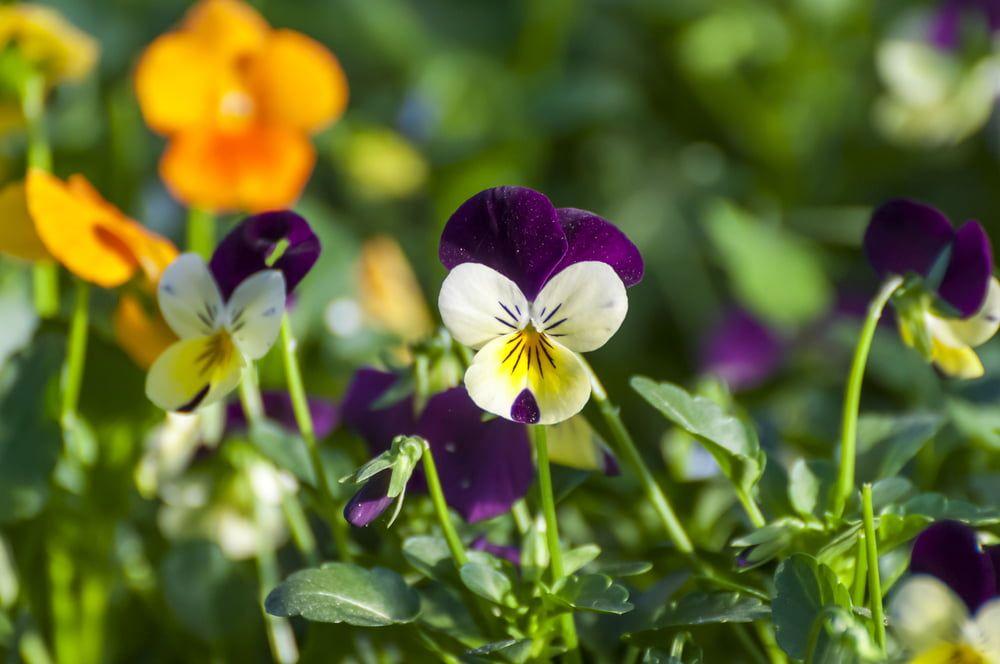 Violas growing in garden