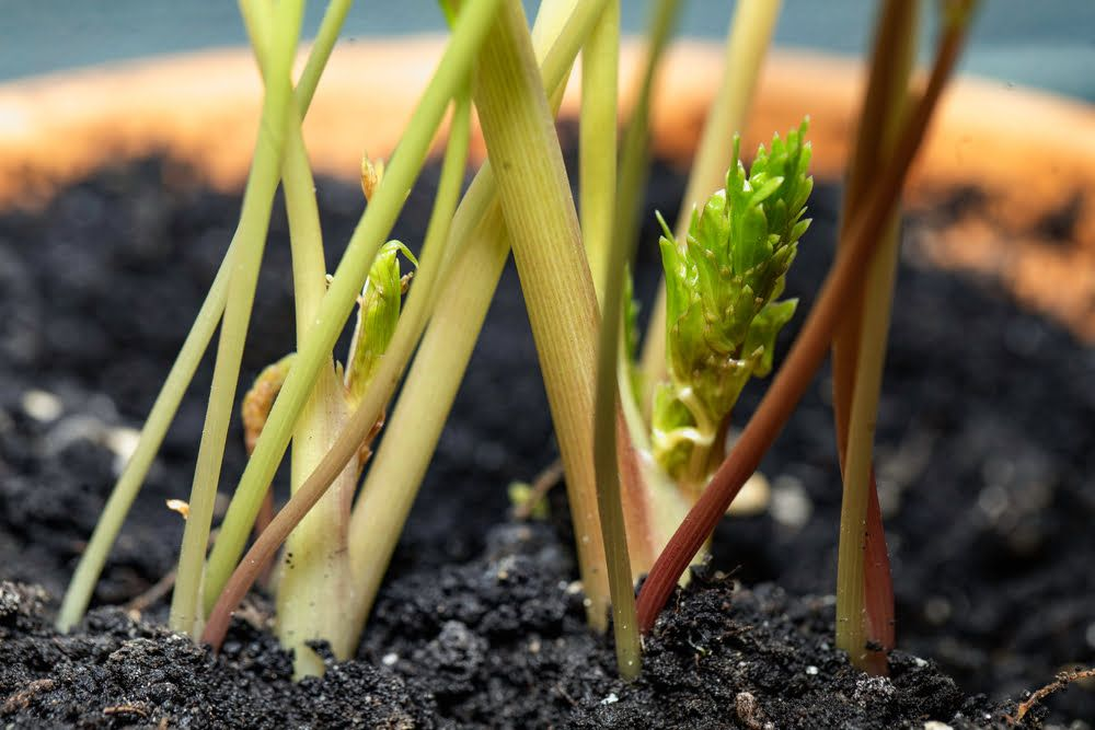 Lovage growing in pot