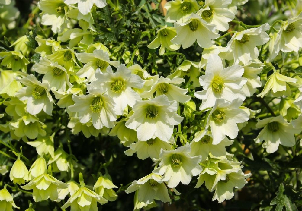 clematis-early-sensation-spring