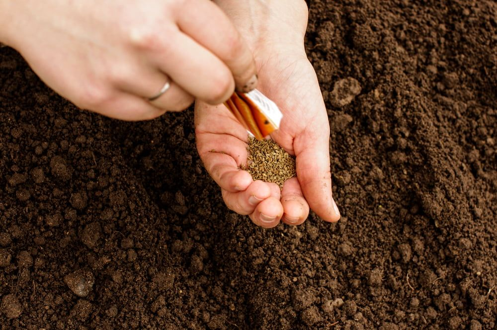Person sowing carrot seeds