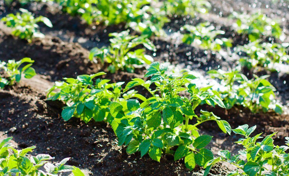 Watering potato plants