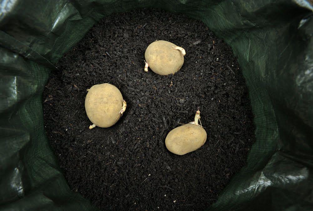 Planting potatoes in bag