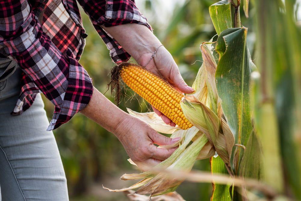 Harvesting sweetcorn