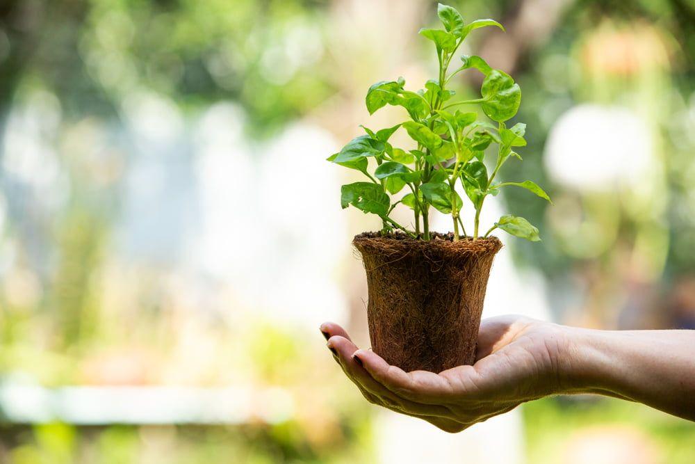 Hand holding watercress plant