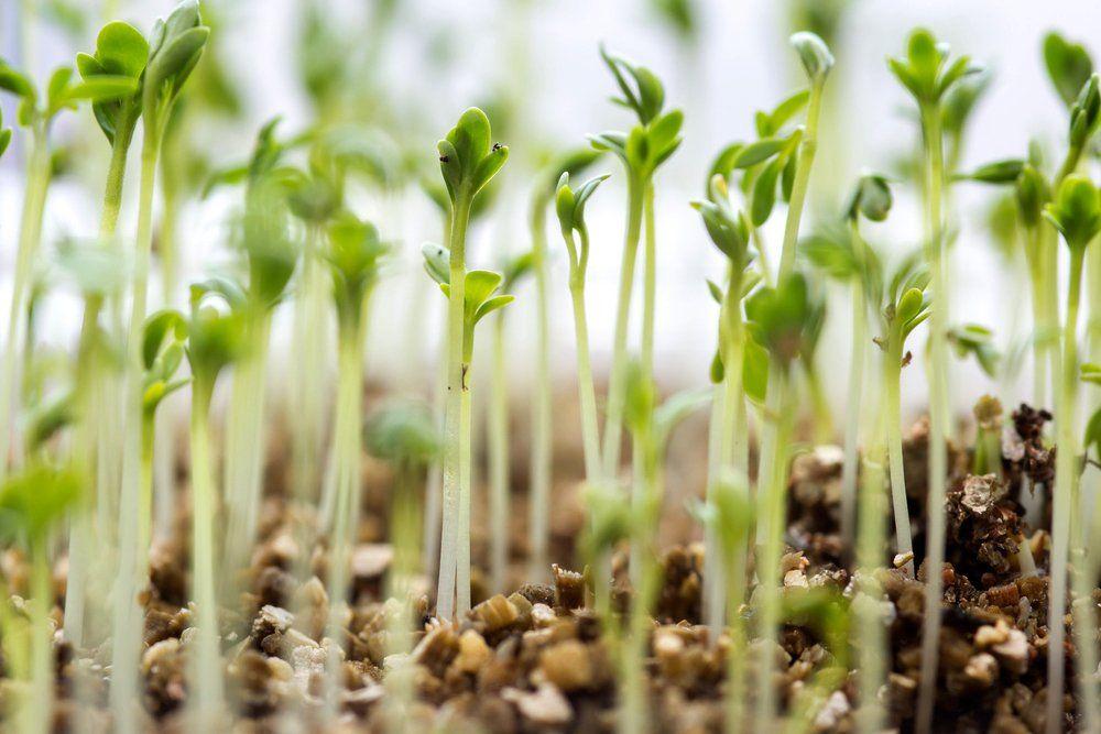 Watercress seedlings