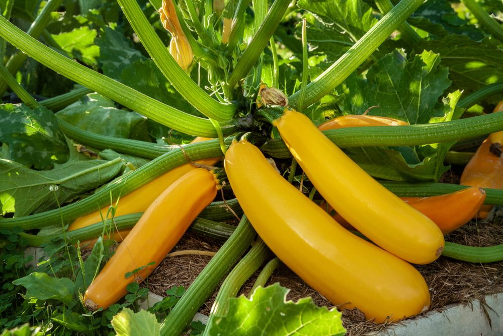 Yellow courgette plant
