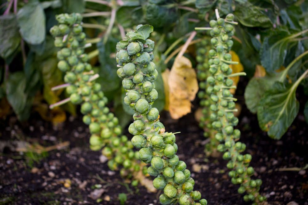 Brussel sprout plants