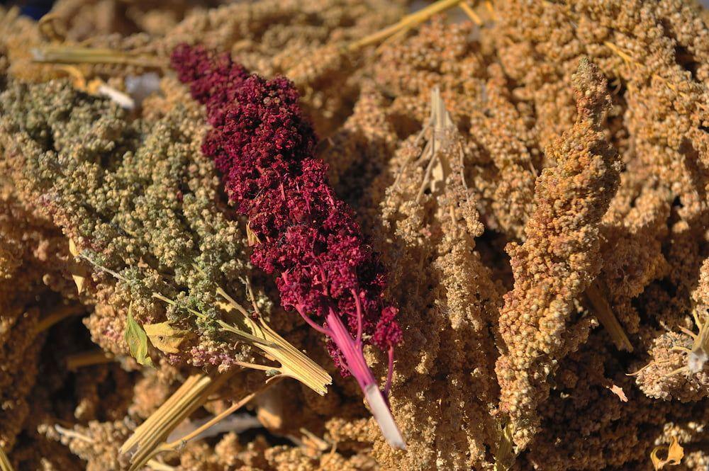 Harvested quinoa