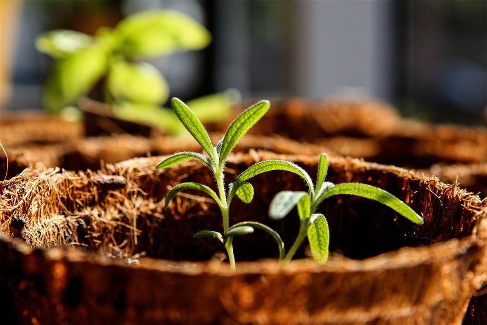 Rosemary seedlings