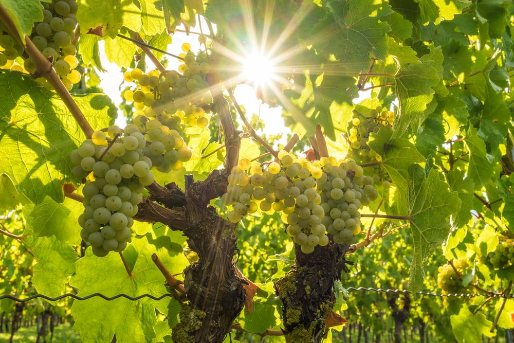Wine grapes on plant