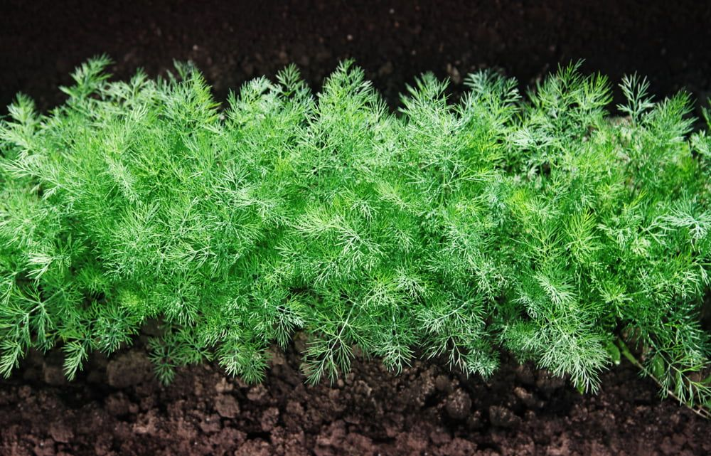 Herb fennel young plants