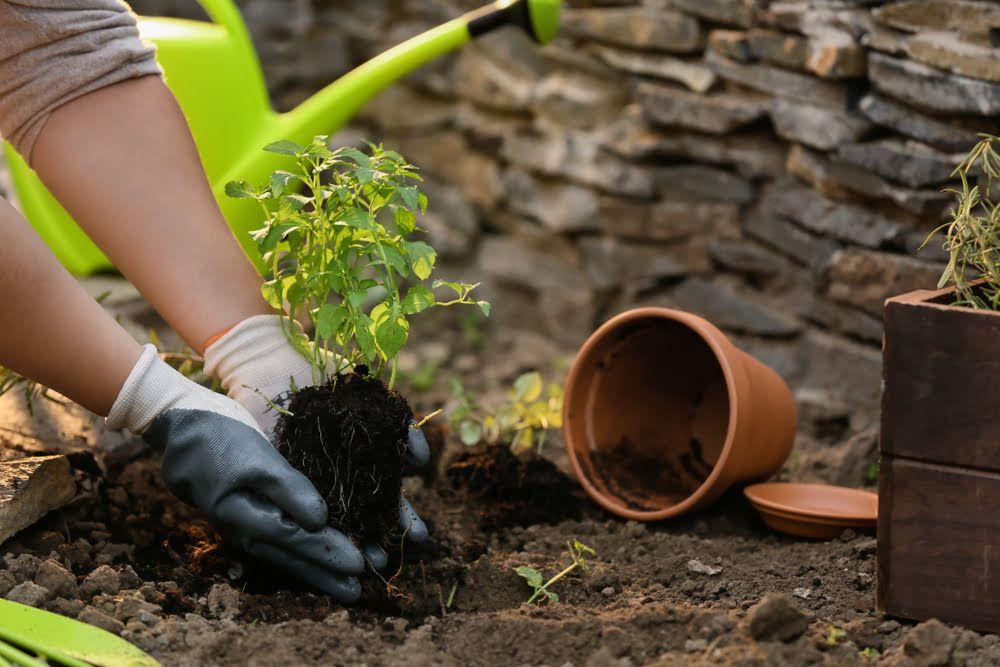 Gardener planting mint