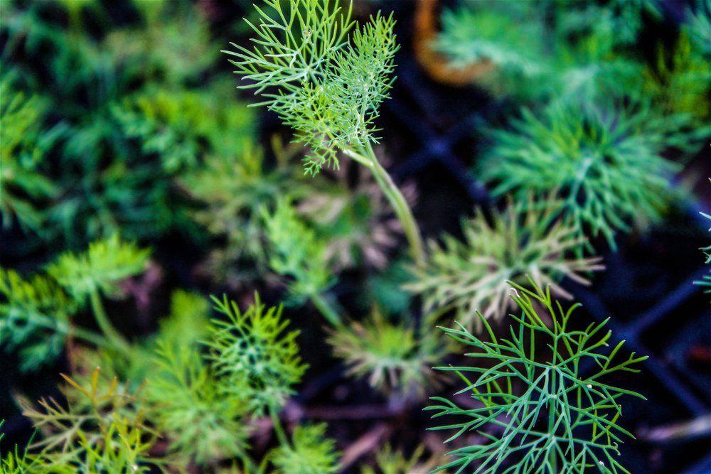 Herb fennel seedlings