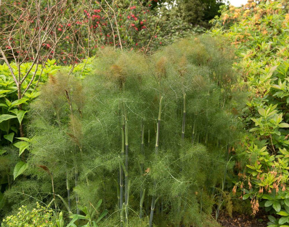 Bronze fennel plants in garden