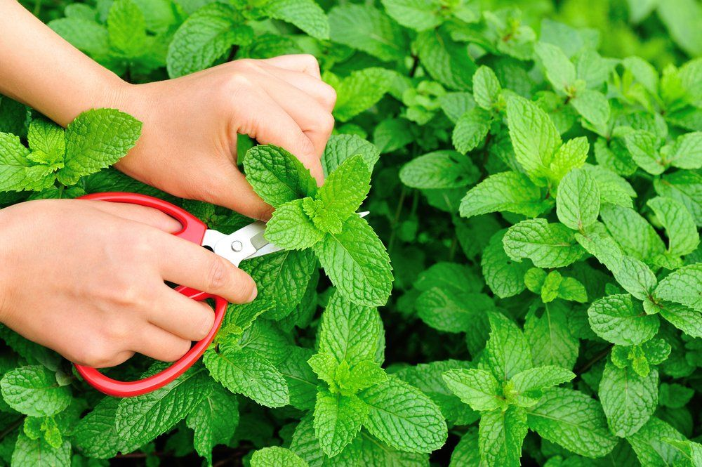 Woman cutting mint leaves from plant