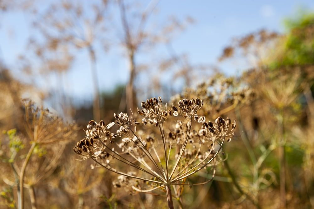 Fennel seeds on plant