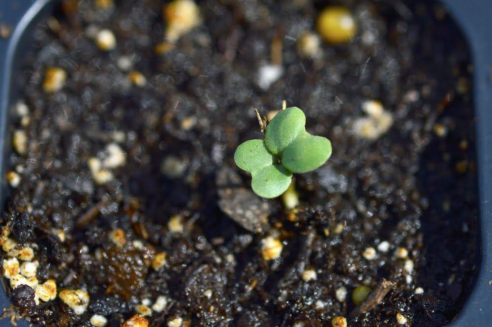 Broccoli seedling