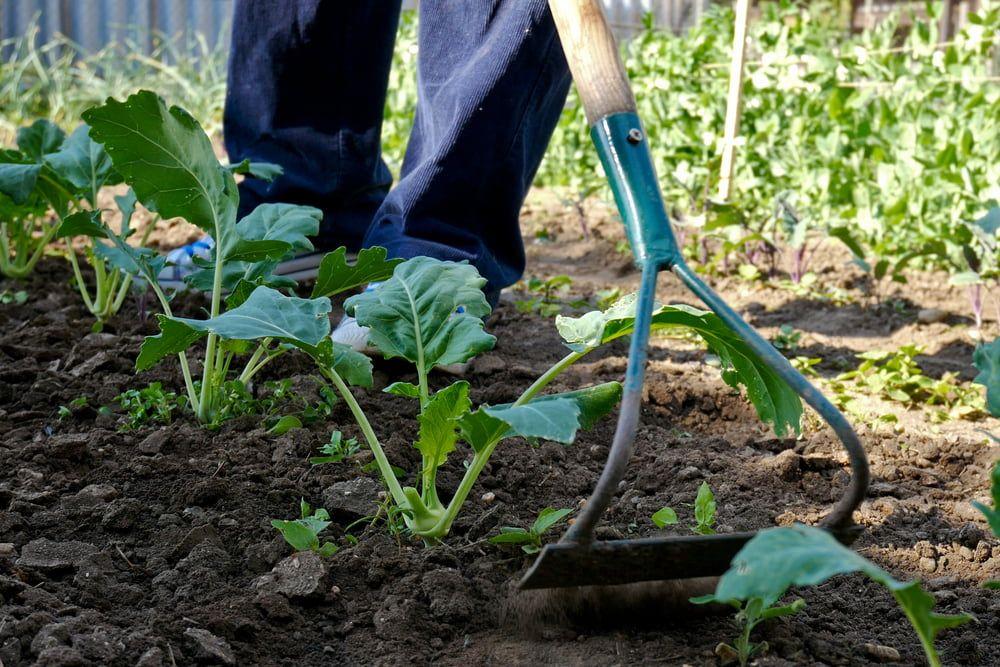 Man hoeing kohlrabi plants