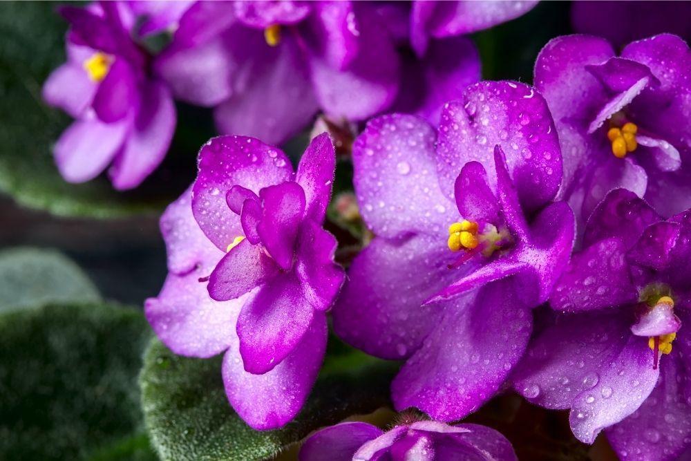 african-violet-houseplant-zodiac-pairing