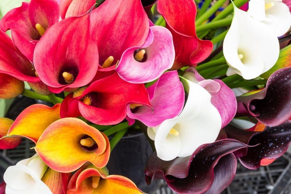 calla-lily-houseplant-zodiac-pairing