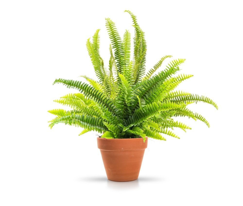 fern-houseplant-zodiac-pairing