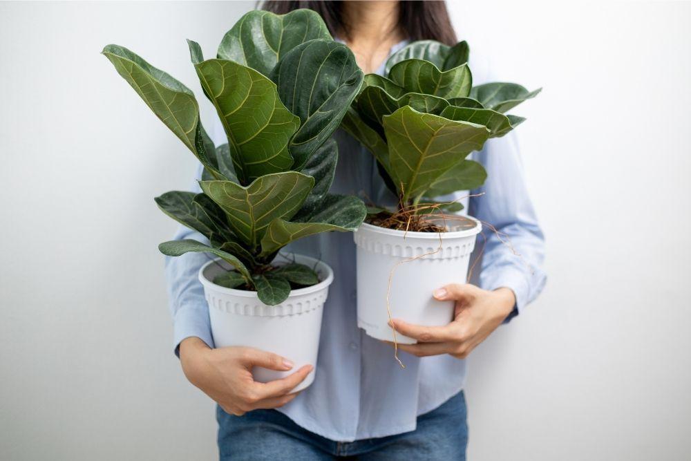 fiddle-leaf-fig-houseplant-zodiac-pairing