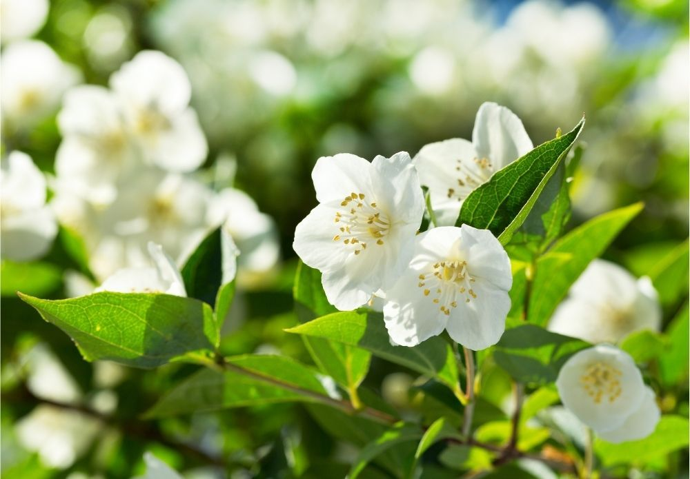 jasmine-houseplant-zodiac-pairing