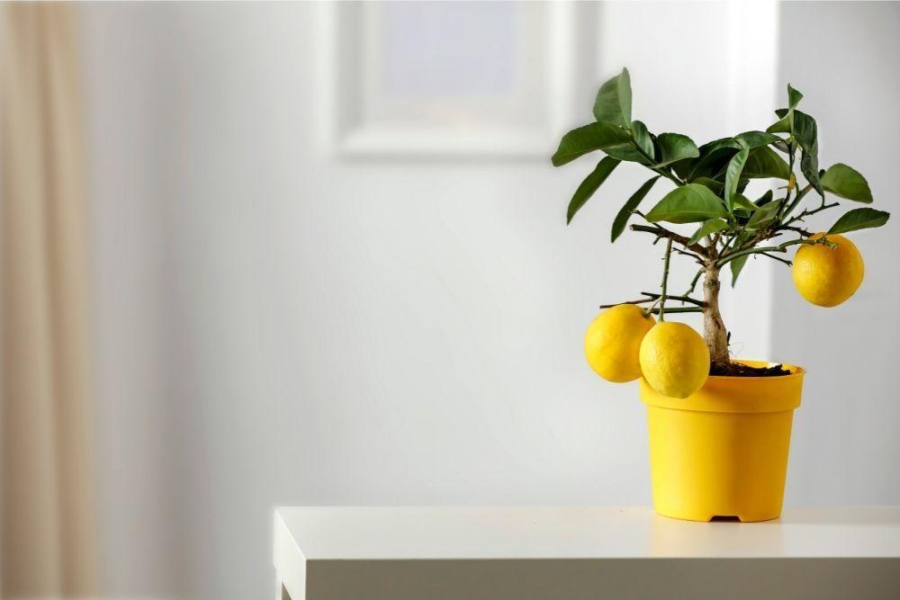 lemon-tree-houseplant-zodiac-pairing