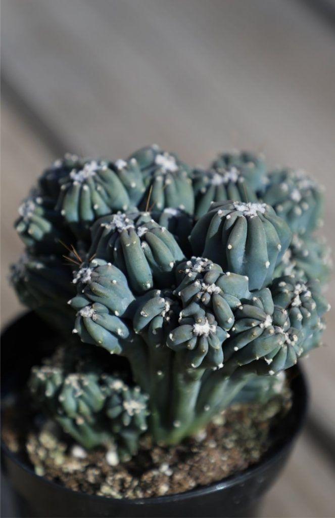 ming-thing-cactus-houseplant-zodiac-pairing