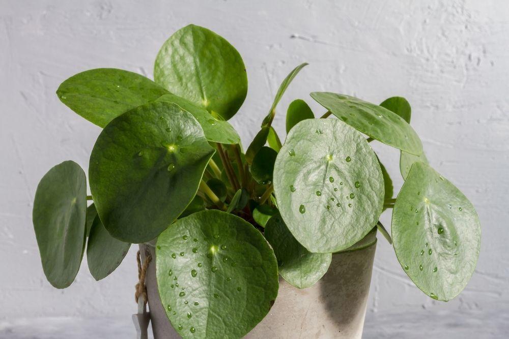 money-plant-houseplant-zodiac-pairing