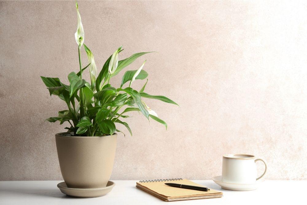 peace-lily-houseplant-zodiac-pairing