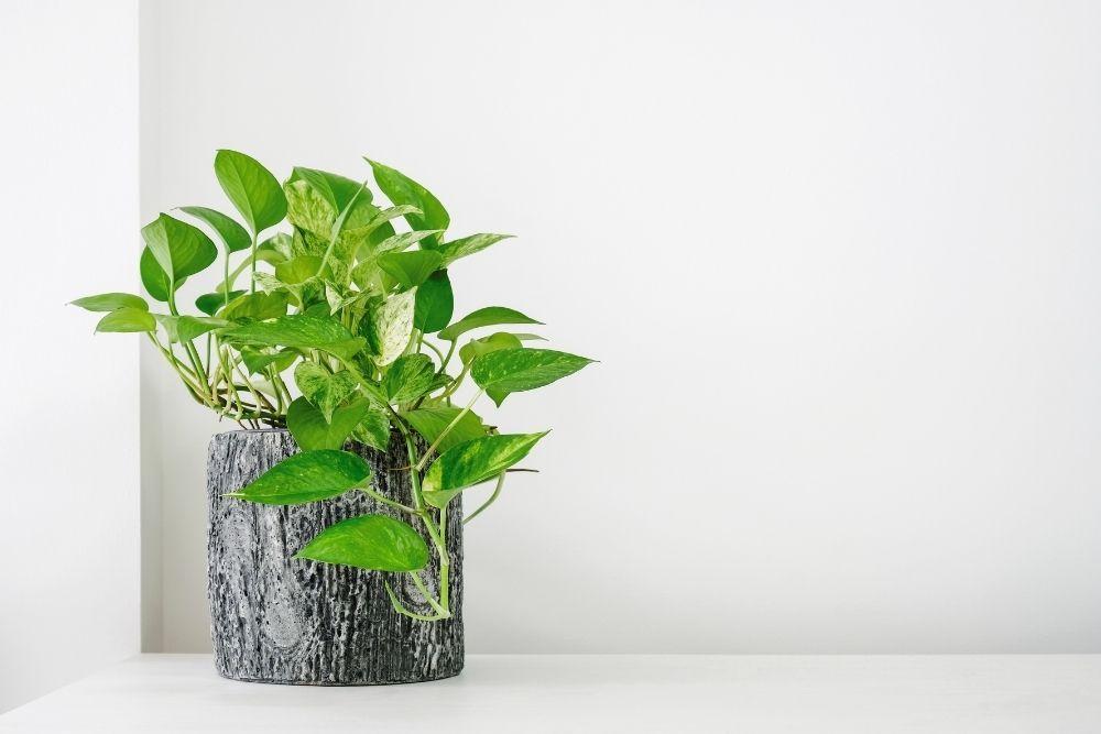 pothos-houseplant-zodiac-pairing