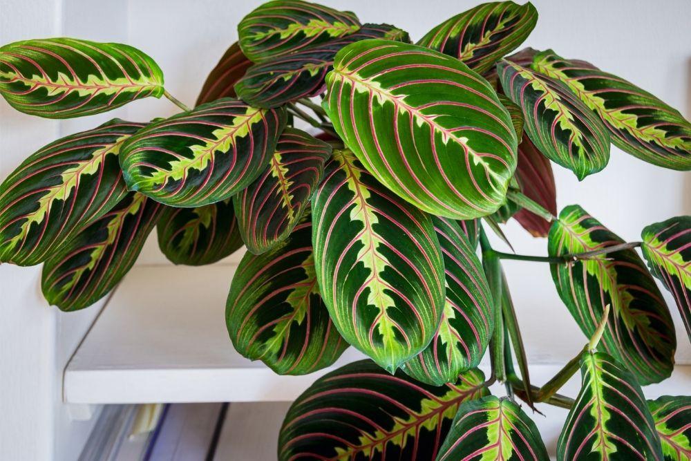 prayer-plant-houseplant-zodiac-pairing