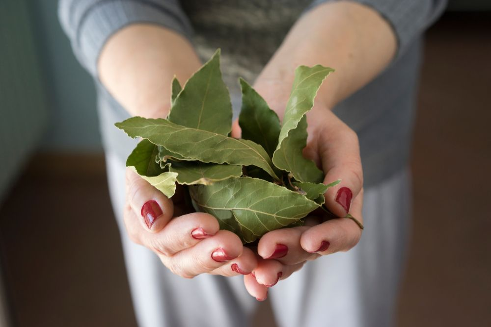 Woman holding bay leaves