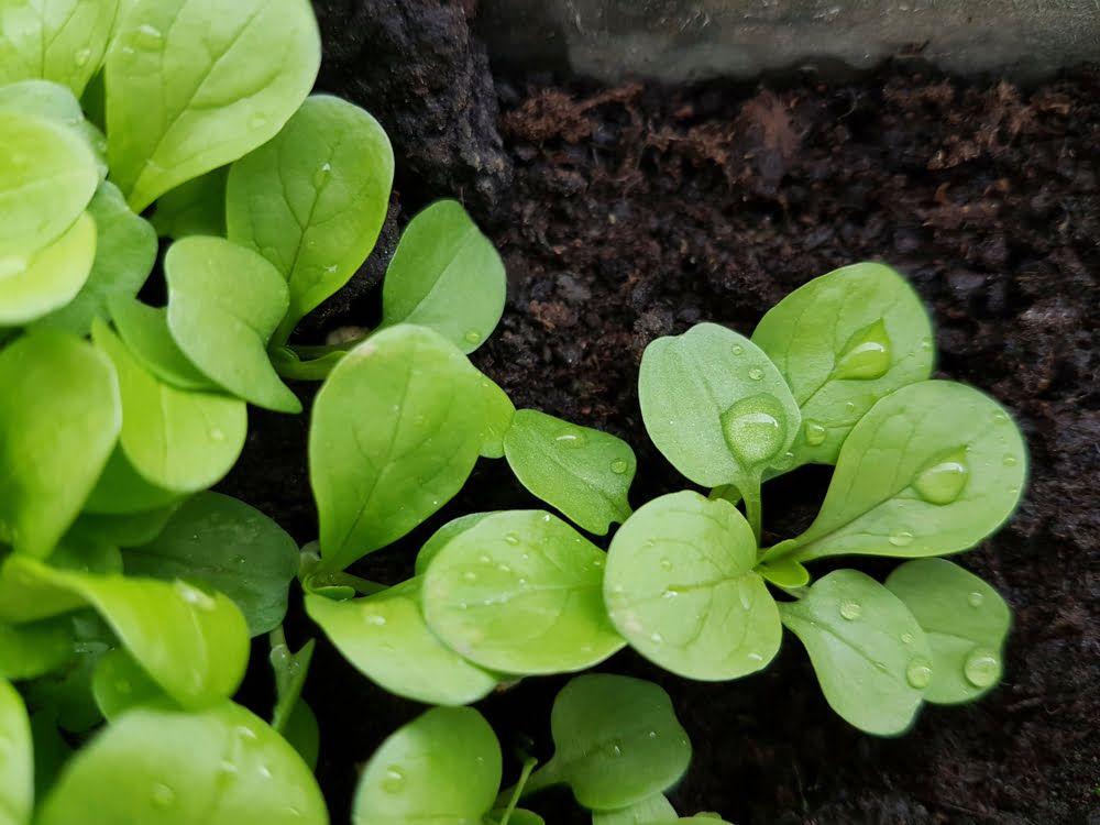 Corn salad seedlings