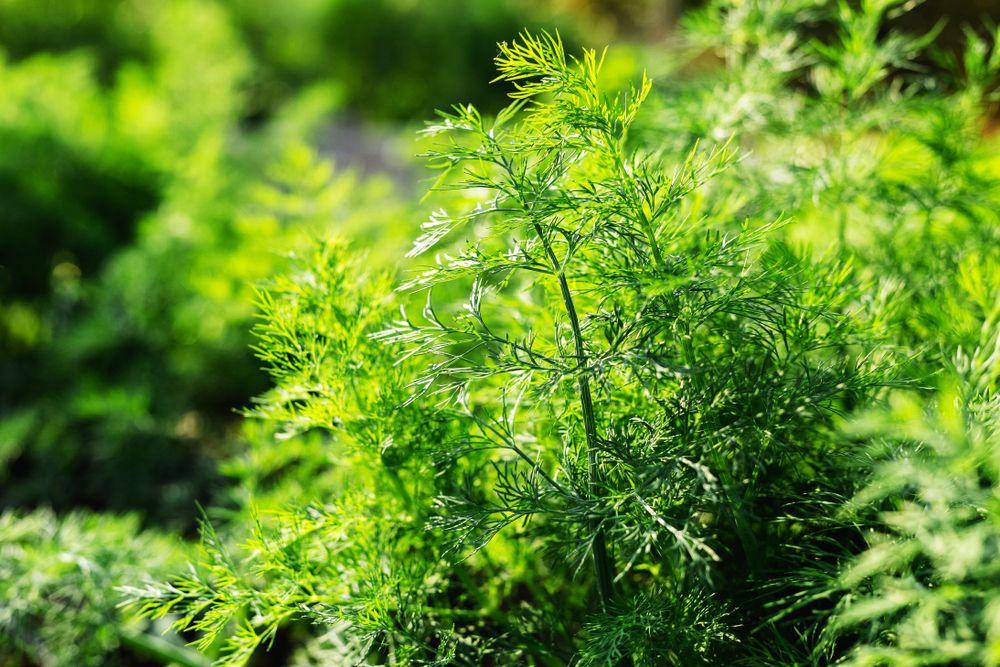 Dill plants
