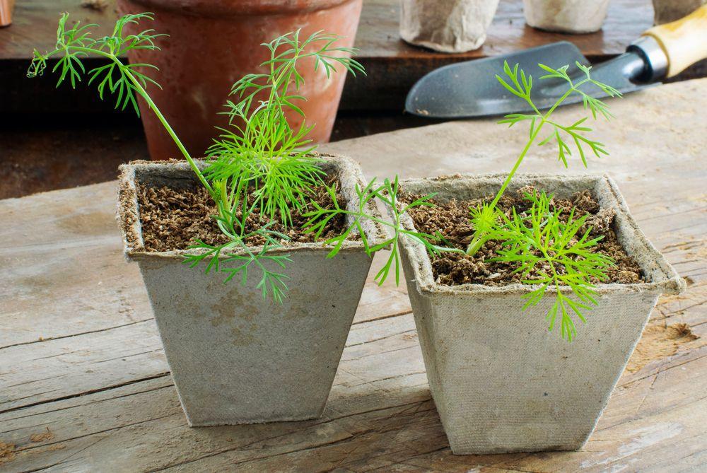 Dill seedlings in pots