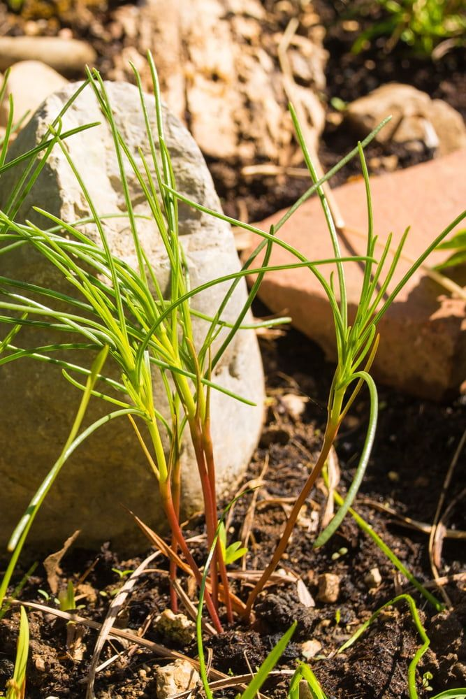 Young agretti plant